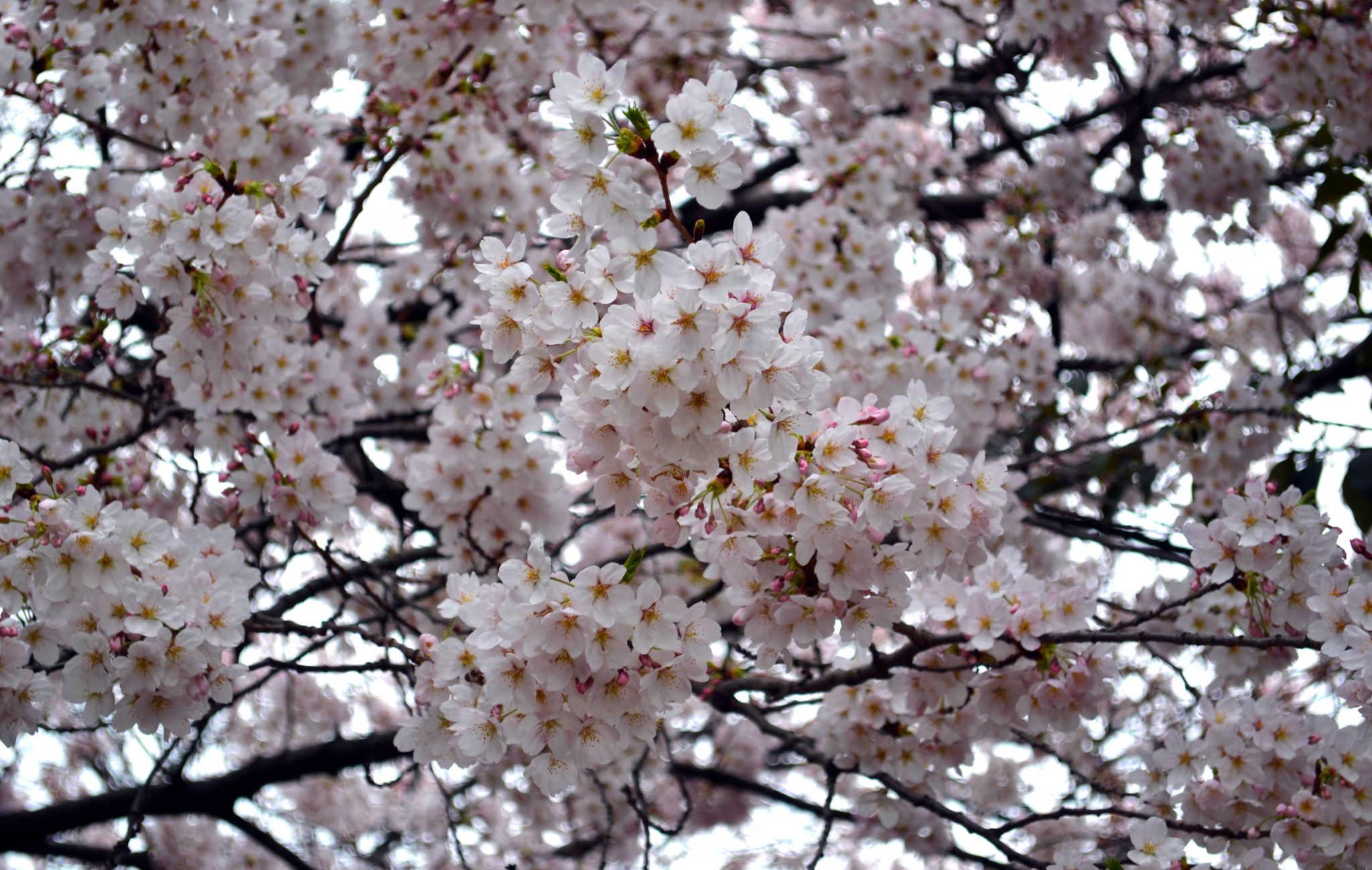 Kyoto : Top 10 des des endroits où voir les cerisiers en fleurs (Hanami)