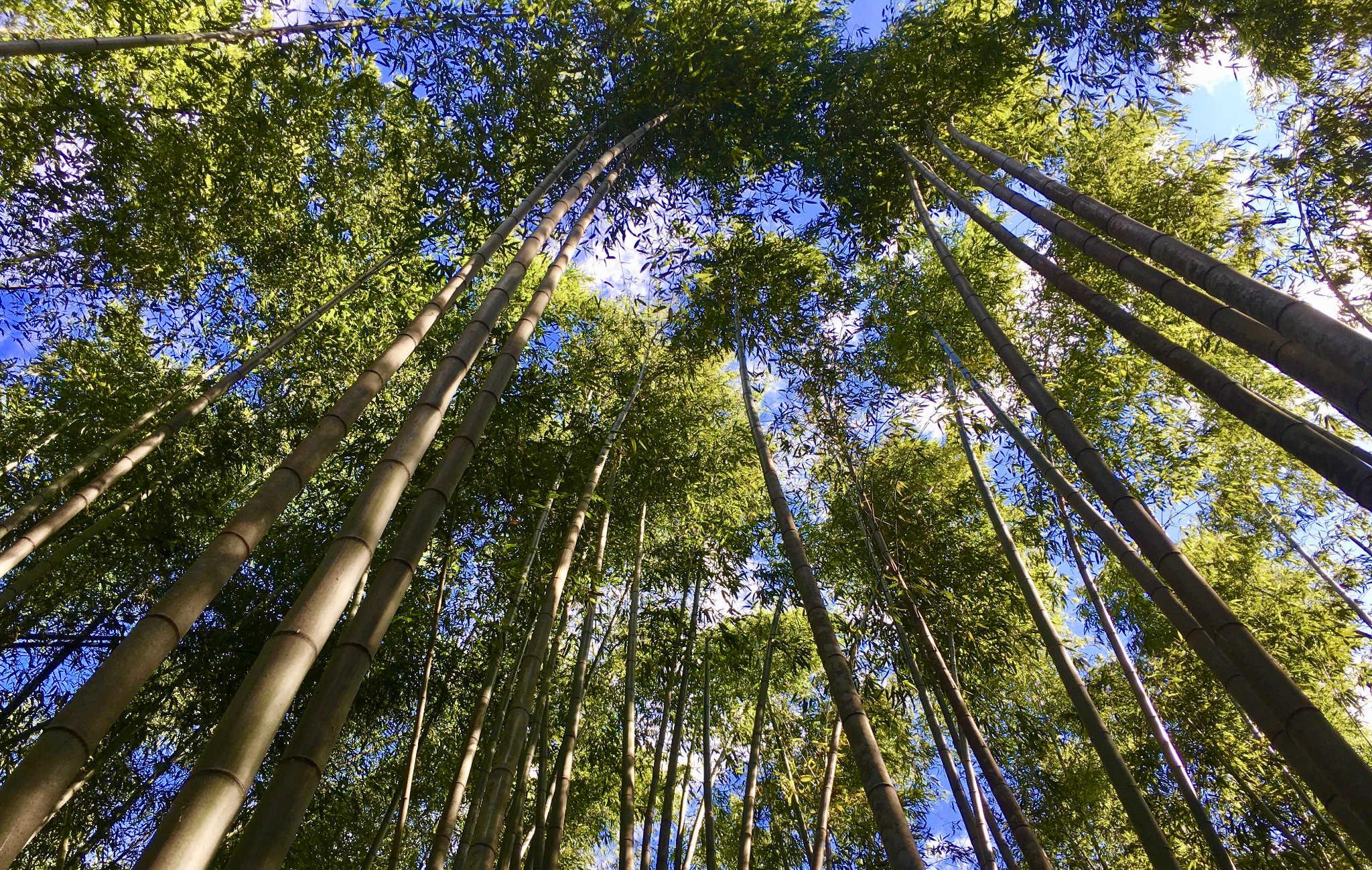 bambouseraie d 39 arashiyama plongez au coeur de la for t. Black Bedroom Furniture Sets. Home Design Ideas