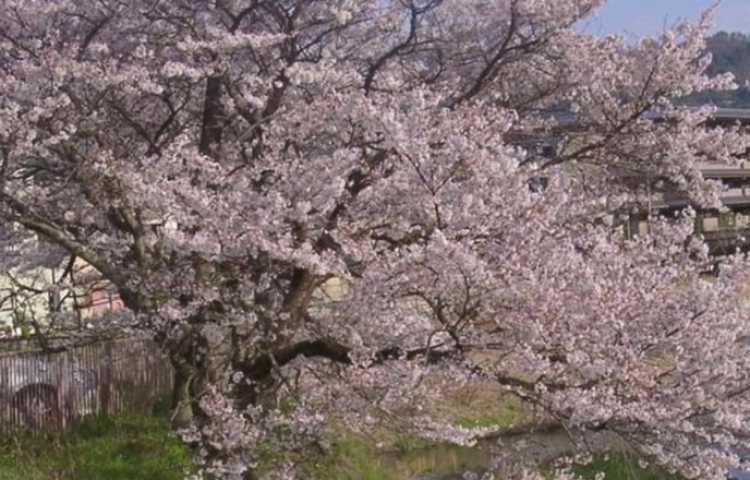 Météo à Kyoto : prévisions à 7 jours. Meilleur saison pour partir.