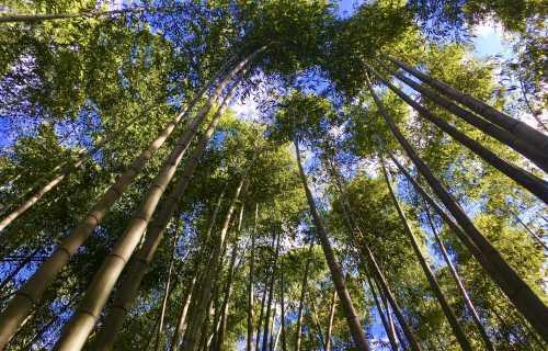 Bambouseraie d'Arashiyama, plongez au coeur de la forêt