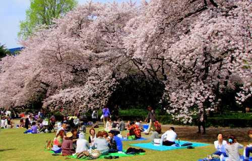 La tradition du Hanami : admirer les cerisiers en fleur