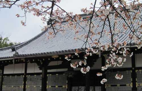 Ninna-ji : le vaste temple à Kyoto, célèbre pour ses cerisiers en fleurs