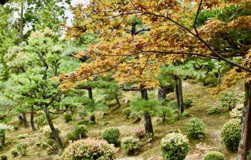 Où et quand partir au Japonpour voir les cerisiers ou les érables ?