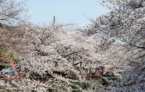 Meguro-gawa, un endroit unique pour admirer les sakura à Tokyo