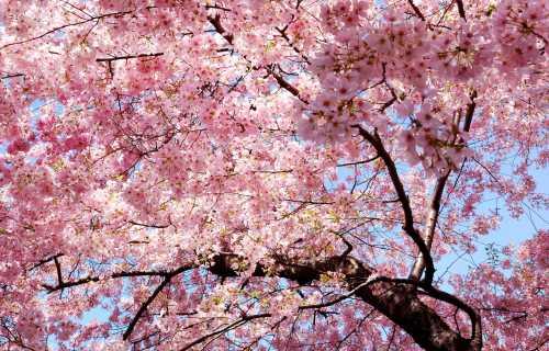 Quand les cerisiers sont en fleurs au Japon ?