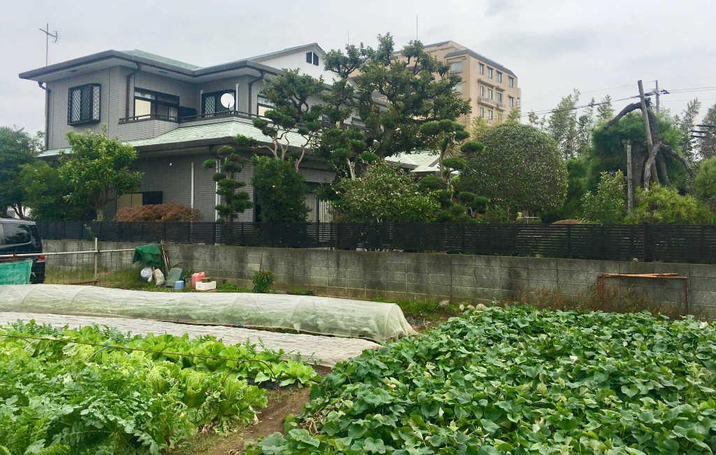 Culture maraichère dans la banlieu de Tokyo