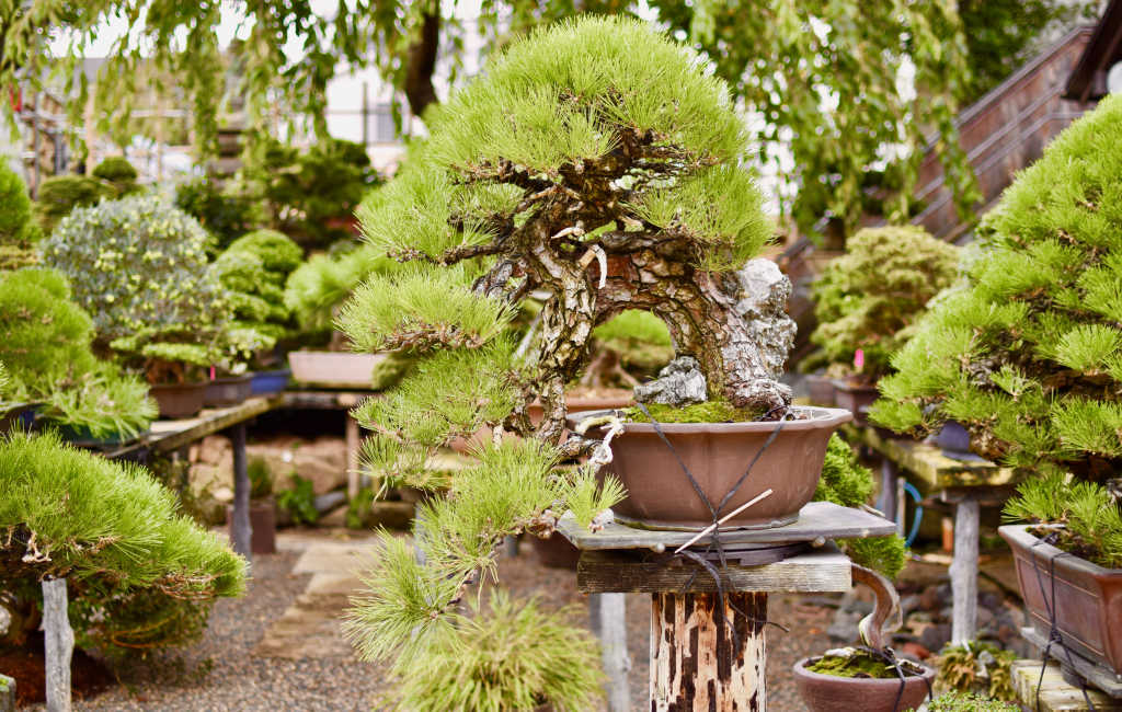 Bonsai de pin en style cascade