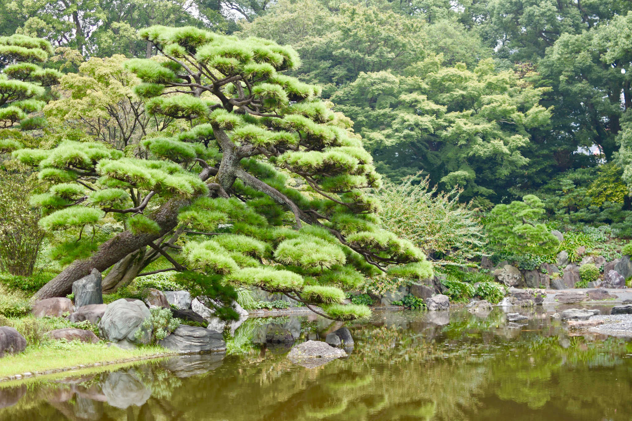 Un pin taillé en plateaux, au dessus un étang