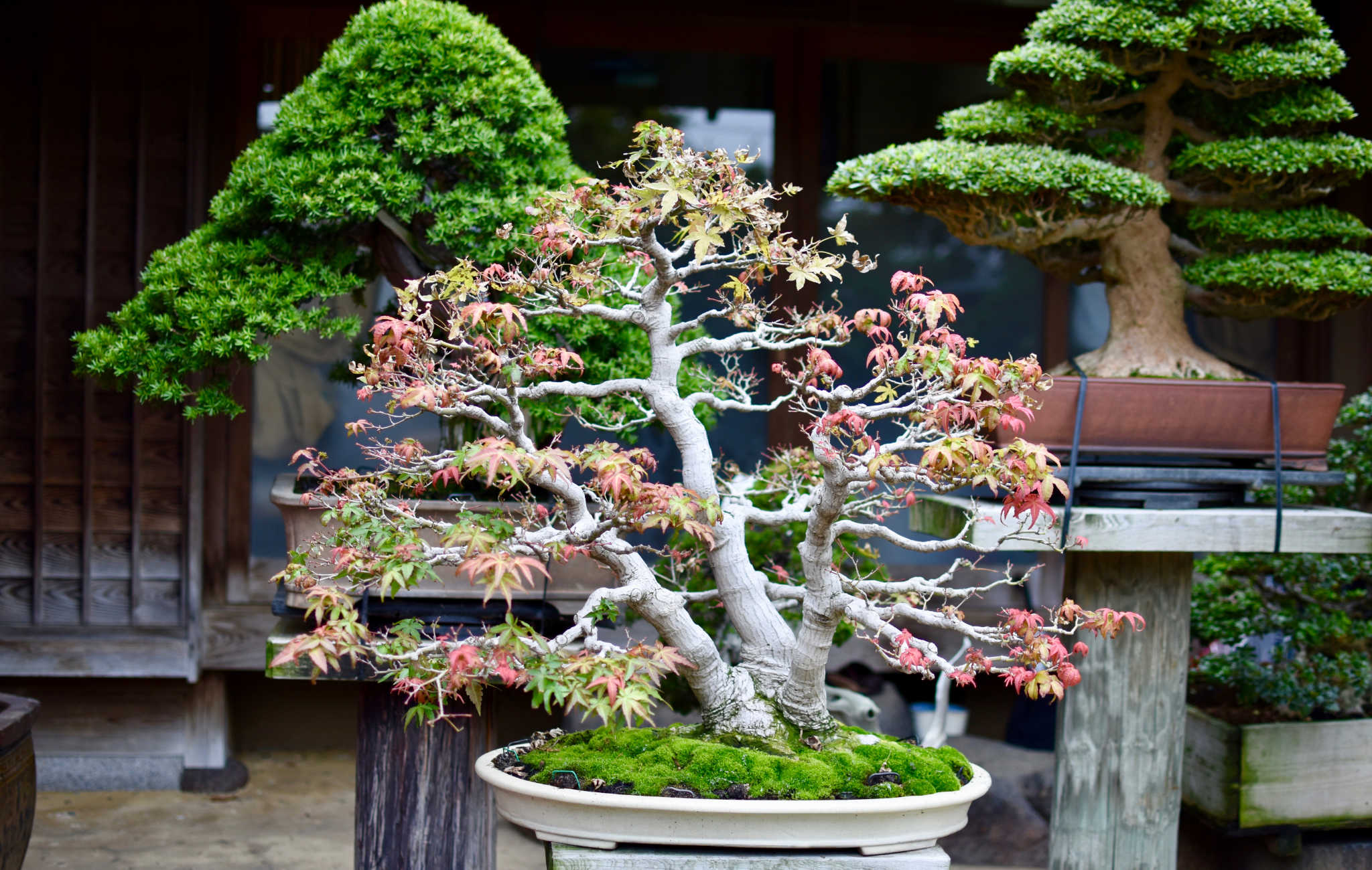 Bonsai érable Momiji multi-tronc