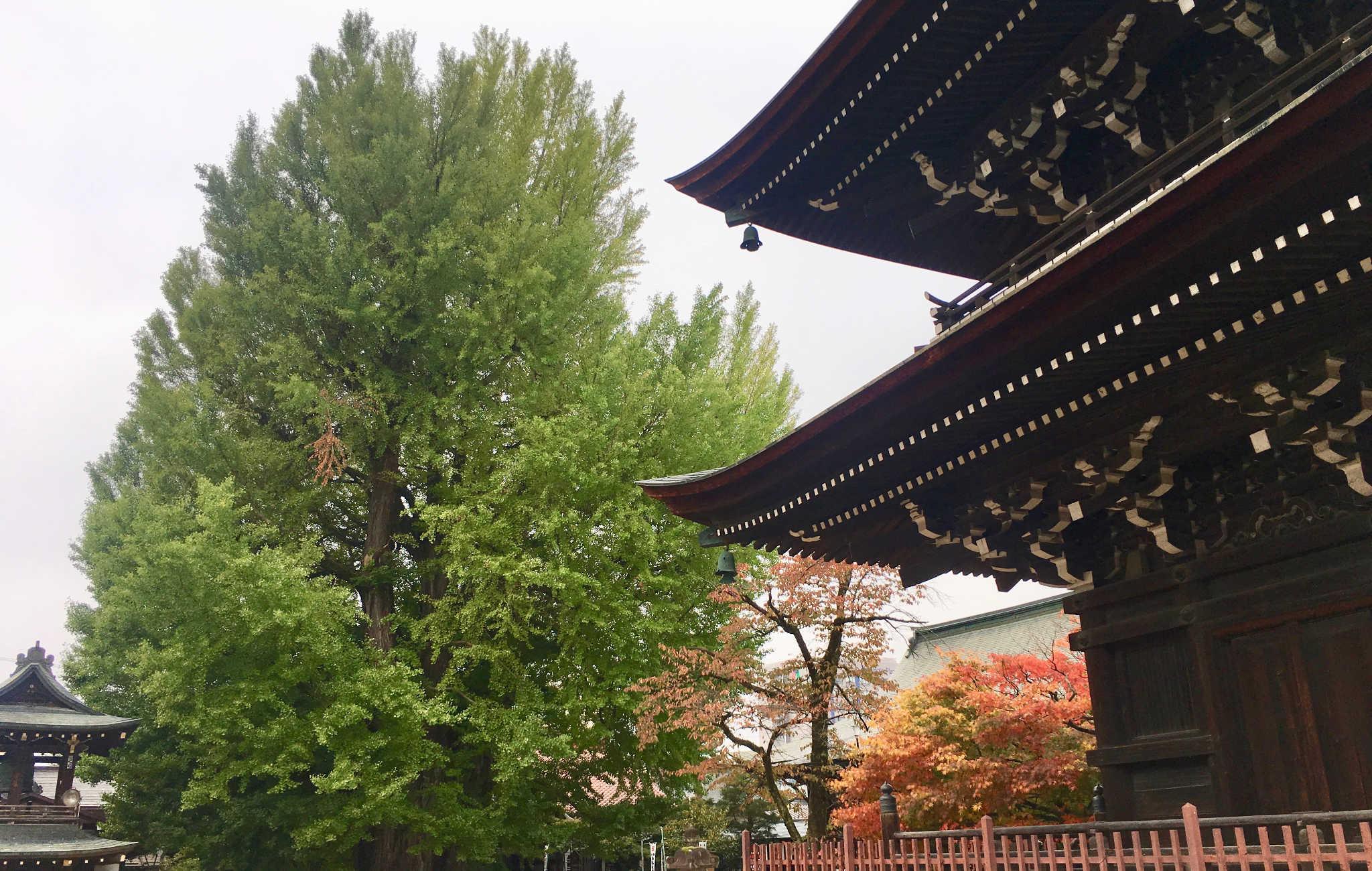 Très vieux Ginko Biloba à côté d'un temple bouddhiste