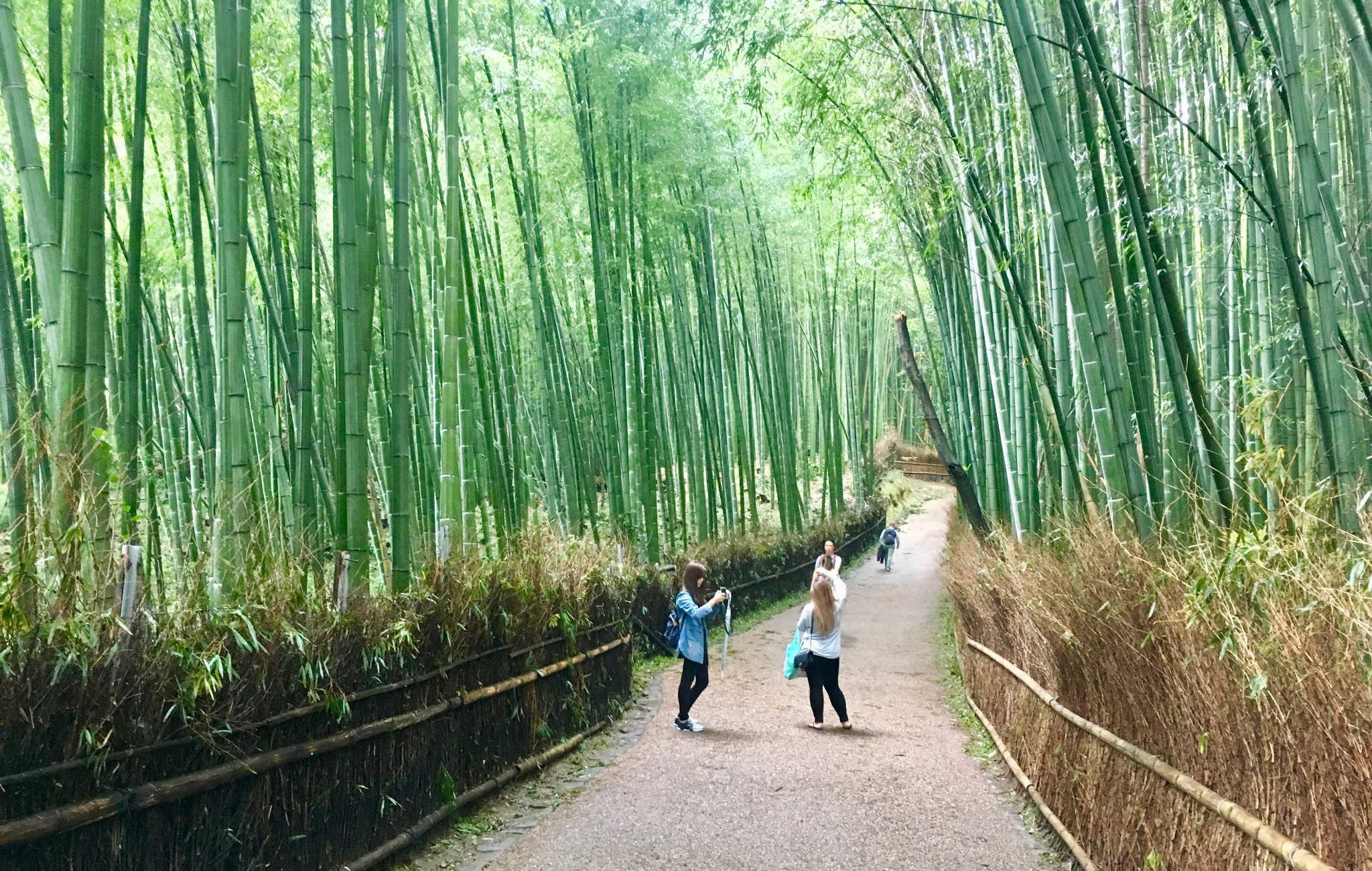 La forêt de bambous forme de véritables tunnels de verdure