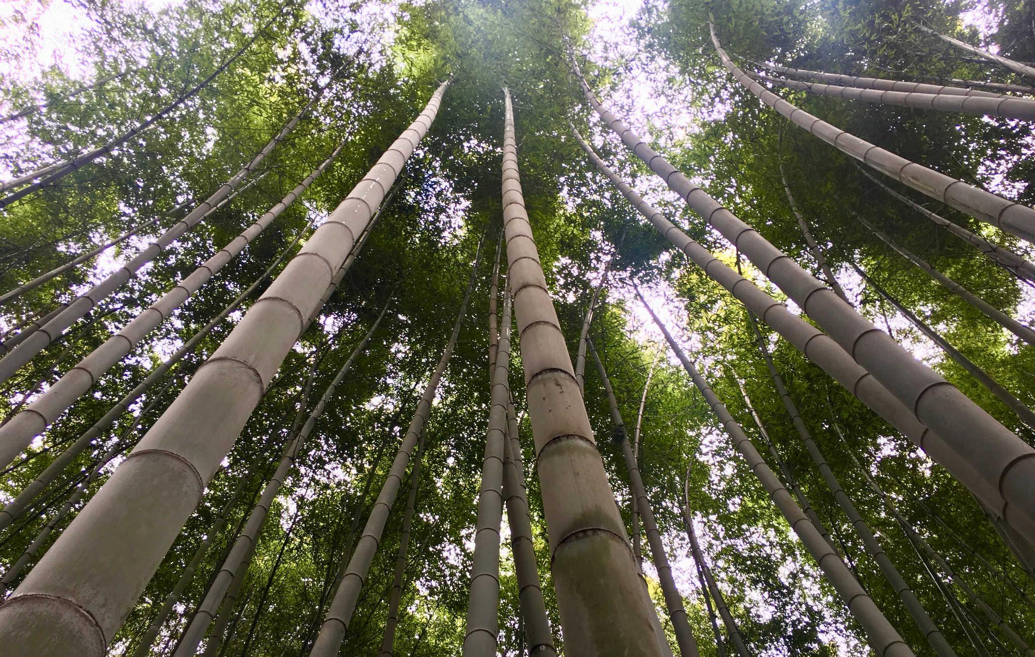 Les bambous sont vraiment très haut, et on se sent tout petit au milieu