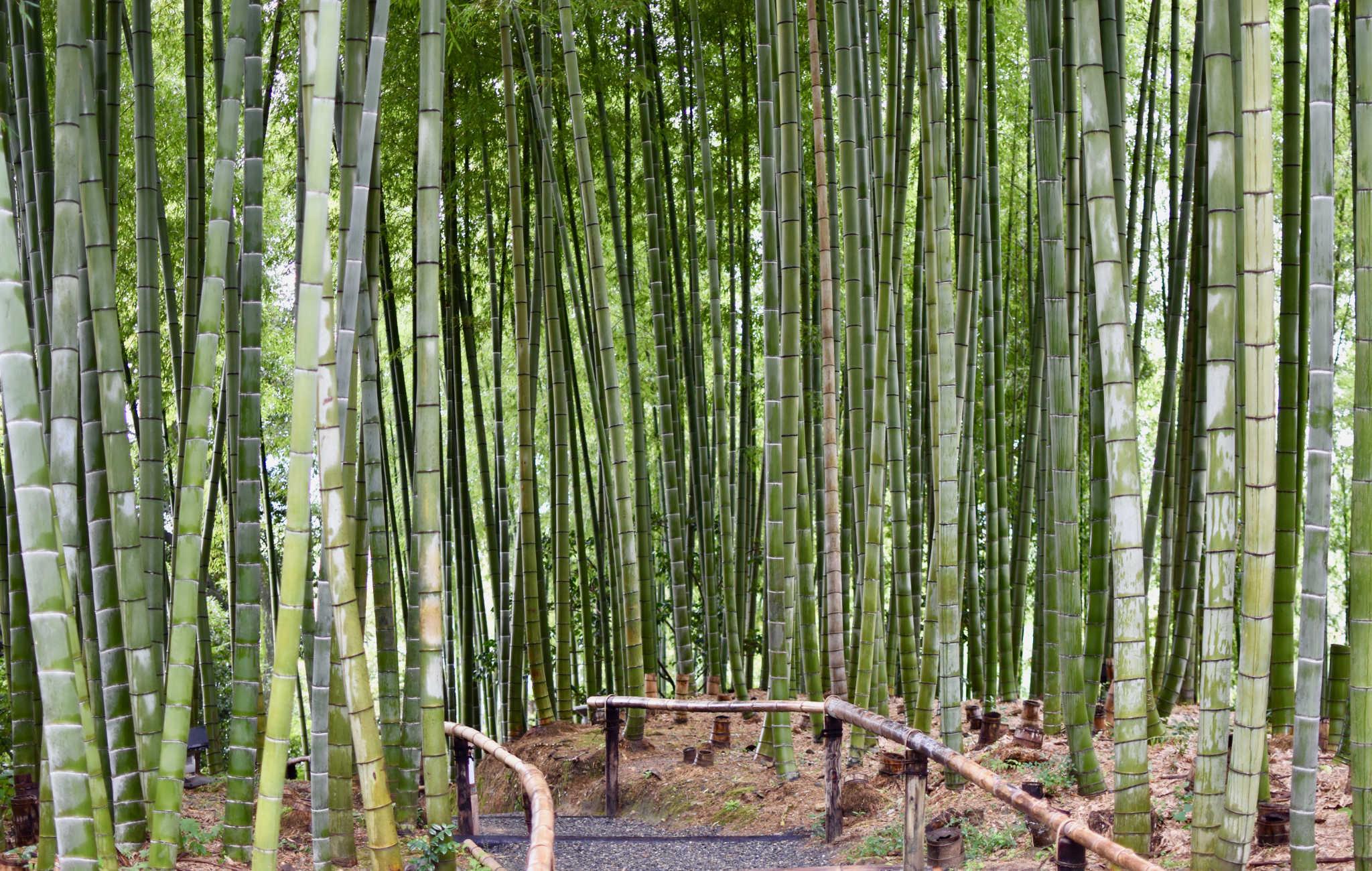 L'impressionnante forêt de bambous au bout de la visite