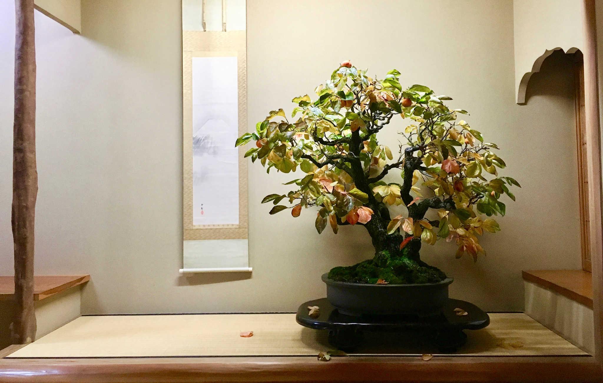 Bonsaï exposé dans un tokonoma avec ses couleurs d'automne