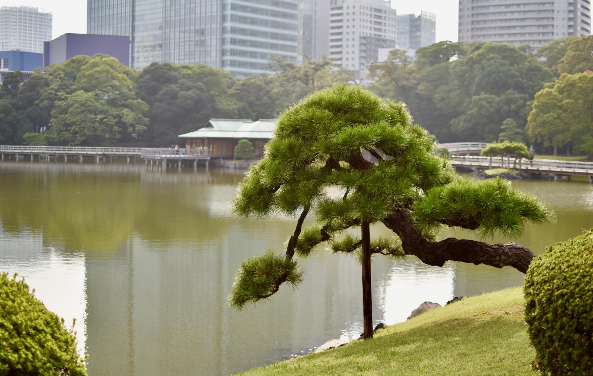 Certains pins sont de véritables bonsaï grandeur nature, avec des formes magnifiques