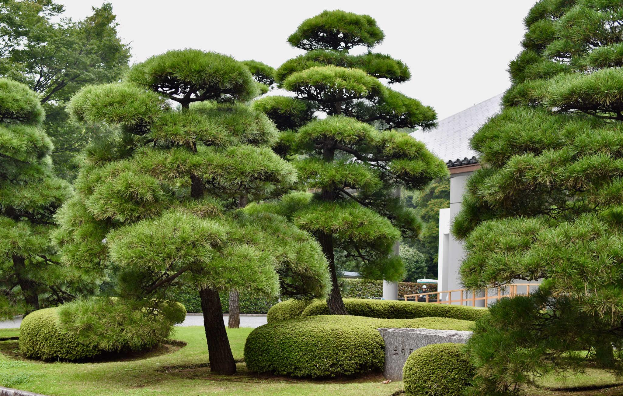 Des grands pins sont taillés en plateaux