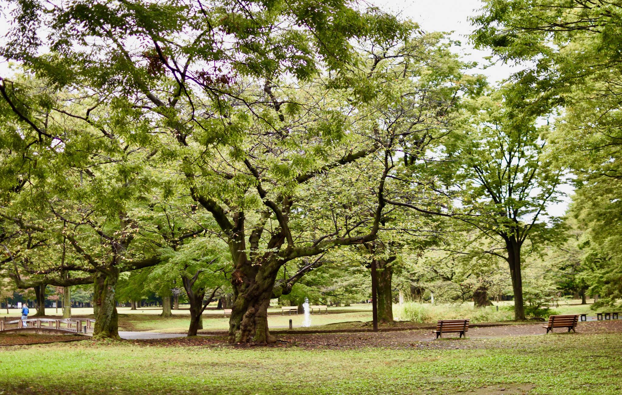 Yoyogi est un des spots tokyoïte pour les cerisiers en fleurs