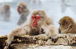 Iwatayama, le parc aux singes de Kyoto