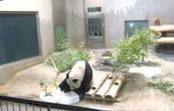 Zoo de Ueno : à la rencontre des pandas géants